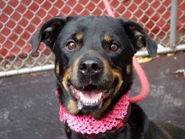 SAFE 7/31/13 Manhattan Center  SAIDY - A0973129  FEMALE, BLACK / BROWN, ROTTWEILER MIX, 2 yrs She is adorable and clearly loves the company of people. Saidy is a cute and rather small girl, a mini Rottweiler we have at the Manhattan Care Center. She is friendly and well mannered and would make a very pleasant forever best friend. Come and meet this little gem and take her home.