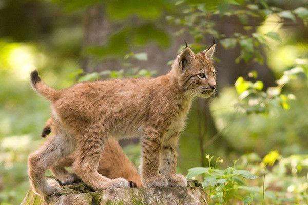 La théorie du tout: Le lynx (en 6 photos)