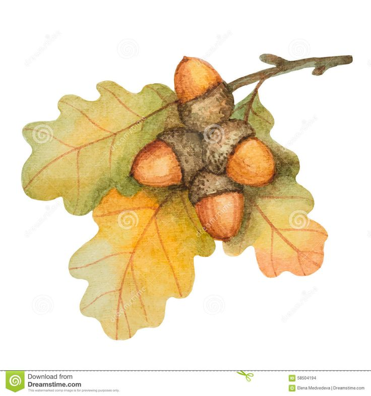 Watercolor Oak Branch With Acorns Stock Vector - Image: 58504194
