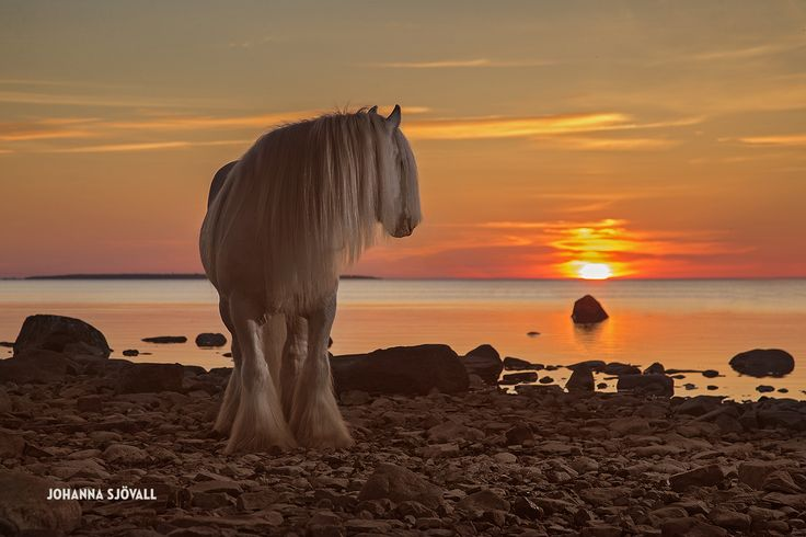 Fine equine photography. Amazing sunset with The Blue Boss stallion!
