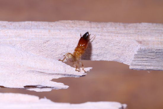 Most Destructive Types of Termites and Areas They are Found   Terminix Blog