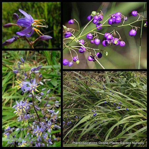 Dianella caerulea x 8 Blue Flax Lily Grass Paroo Flowers Hardy Ornamental Plants $29.95