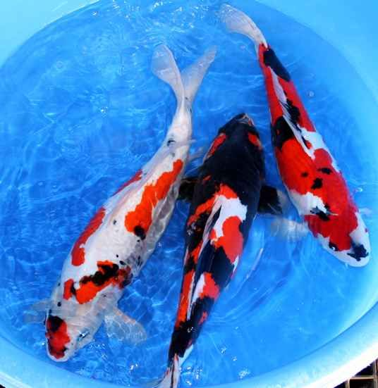 536 551 japanese koi pinterest colors koi for Goshiki koi fish for sale