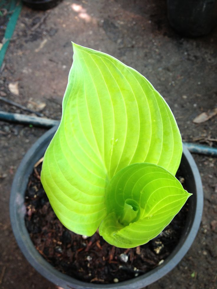 First hosta of the season