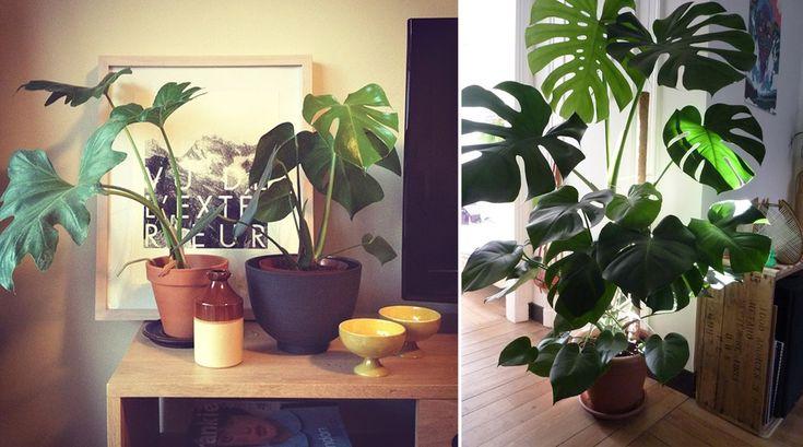 Mesmo com pouca luz, água e cuidados, a Costela-de-adão pode sobreviver sem problemas (fotos: Pinterest)