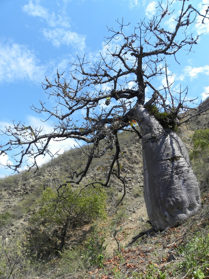 Ceiba Barrigona (Cavanillesia Chicamochae), an endemic tree from the Chicamocha Canyon, Santander, Colombia