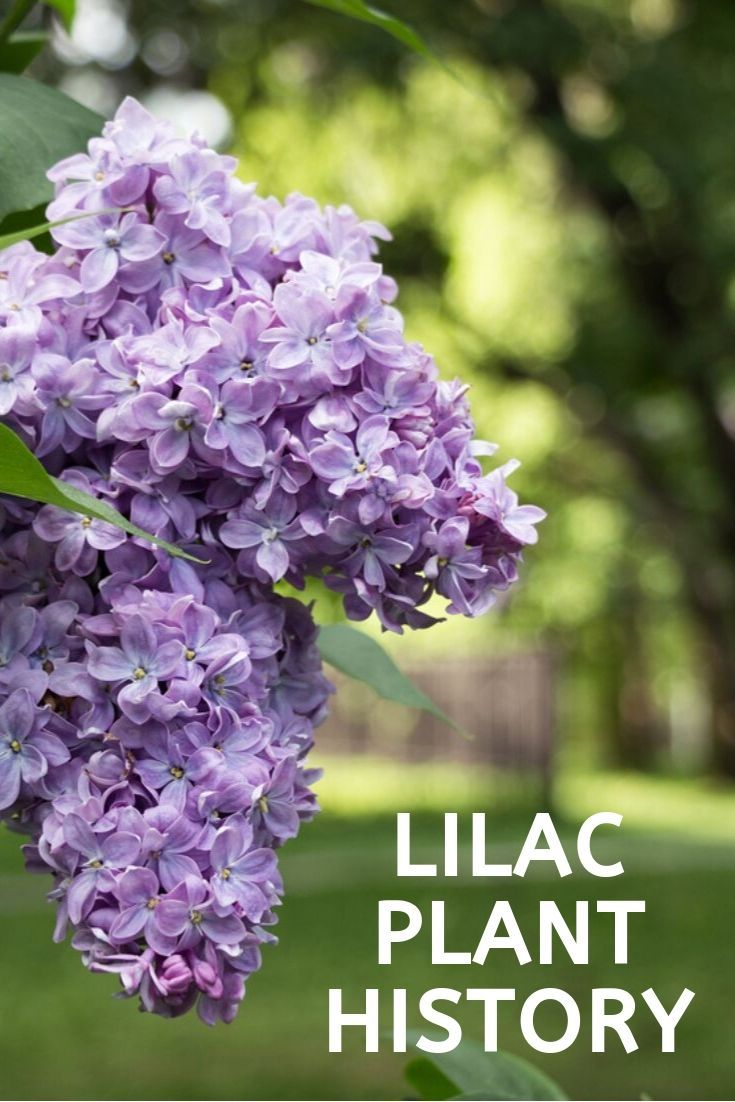 Lilac Plant History Learn About The History Of Lilac Bushes Gardening Know How S Blog Lilac Plant Lilac Bushes Plants