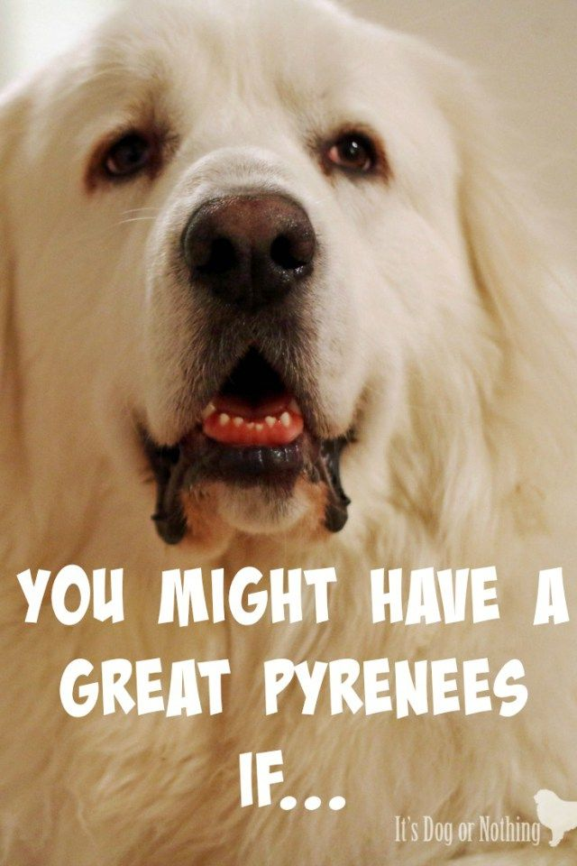 You Might Wanna Sit Down For This: You Might Have A Great Pyrenees If