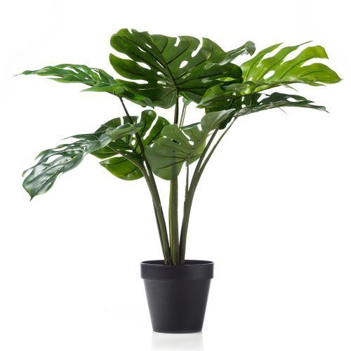 New Monsteria Potted Plant