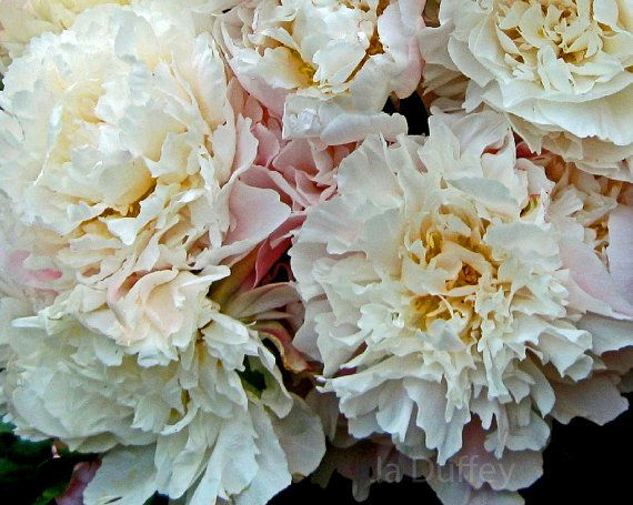 Peony Floral Nature Photography- Shabby Chic White and Pink  Nature Art Print Peony Flower Home Decor Photography Art Print Floral