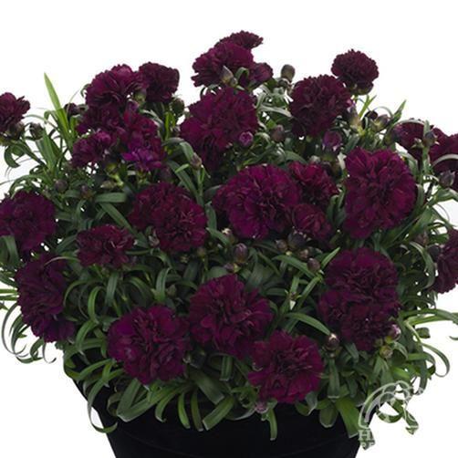 Dianthus caryophyllus Sunflor® Beetle