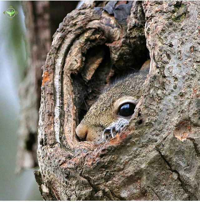 Image result for last acorn hanging on the oak eyed by a grey squirrel UK