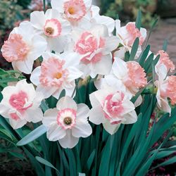 Pink Daffodil: Flowers Gardens, Spring Flowers, Pink Daffy, Pink Flowers, Flowers Beds, Beautiful Flowers, Pink Daffodils, Daffodils Mixed, Pink Tulip