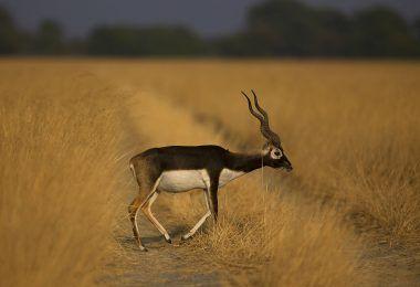 TAL CHAPPAR WILDLIFE SANCTUARY, NAGAUR   ताल CHAPPAR Wildlife Sanctuary, नागौर ताल छपार वन्यजीव अभयारण्य, शेखवाती राजस्थान के चारु जिले में स्थित है, ताल्ल चापर वन्यजीव अभ्यारण्य सभी जंगली जीवन प्रशंसकों के बीच ब्लैक बक नामक एंटीलोप की लुप्तप्राय प्रजातियों के लिए प्रसिद्ध है। यह कुछ दुर्लभ प्रवासी पक्षियों का घर भी है, जैसे कि हैरियर। यह जगह सवाना की तरह बहुत ही समान है मोथिया के नाम से जाना जाने वाला खाद्य घास भी यहां बढ़ता है। सर्दियों के दौरान प्रवासी पक्षी इस पक्षी अभयारण्य की यात्रा…