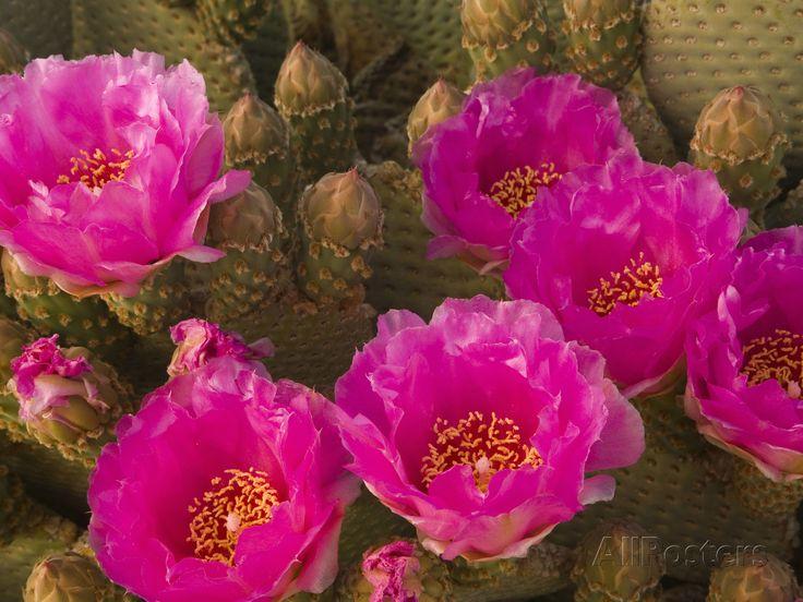 Beavertail Cactus Flowers (Opuntia Basilaris), Mojave Desert, Joshua Tree National Park, California Photographic Print at AllPosters.com