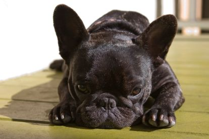 Might have to get me a French Bulldog!