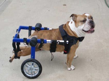 1000 Images About French Bulldogs On Wheels On Pinterest