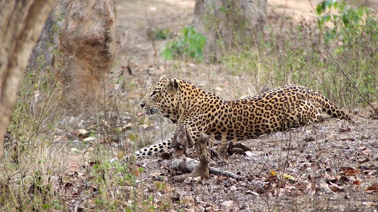 Leopard on the prowl - This leopard was patiently waiting for it's prey to make the right move ... aka stalking ...  Thanks for viewing.