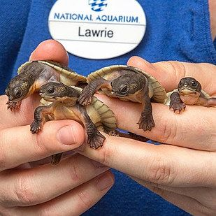 Look, here are not one but eight Northern Australian snapping turtles! | 25 Of The Cutest Baby Animals Born This Year