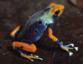 New species of poison dart frog found in Brazil's Amapa Biodiversity Corridor, a 5.7 million acre Amazon conservation area .