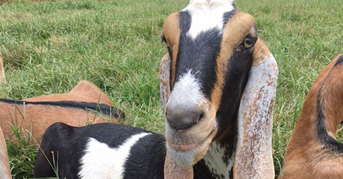Goat Farm and Rehab Facility Team Up for First of Its Kind 'Goat Therapy' Program