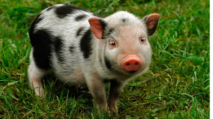 Teacup Pigs, micro mini pigs, piglets, Juliana pigs, miniature pigs, breeders, caring for teacup pigs, health, tips, size, weight