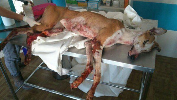 Petizione · International Animal Rescue: Mettre un terme à l'exploitation, la torture et l'abattage des galgos · Change.org