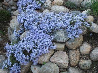 rośliny na skalniak fot. d r o u u Freeimages