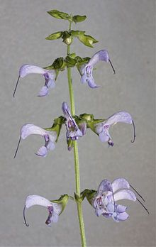 Salviamiltiorrhiza.jpg