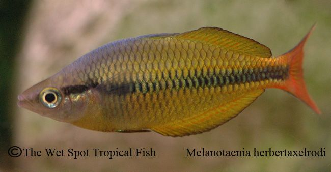 17 best images about exotic fishes on pinterest cichlids for Yellow rainbow fish