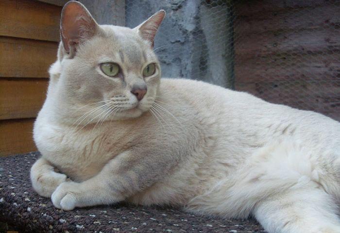 Gatos de Raza - Burmilla