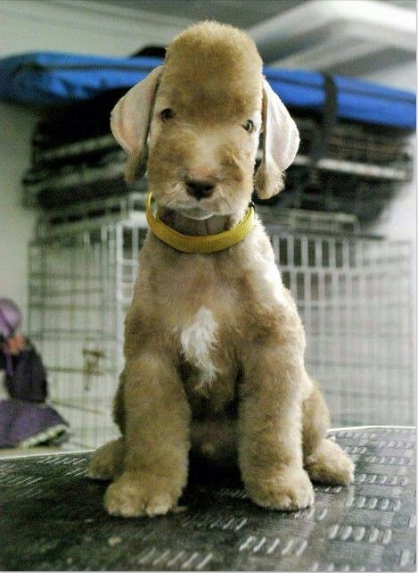 Super cute bedlington terrier