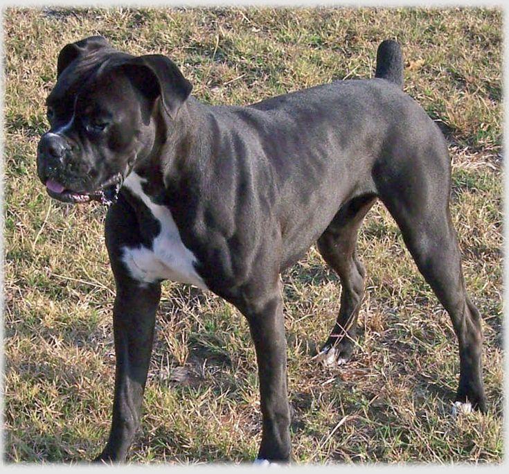 boxer+dogs | Black Boxer Dog