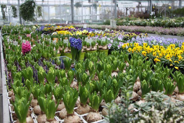 Hyacint bloembollen