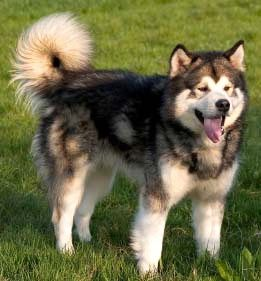 Chien traineau, originaire d'Alaska - #Alaskan malamute - http://www.docanimo.com/alaskan-malamute-chien-traineau/