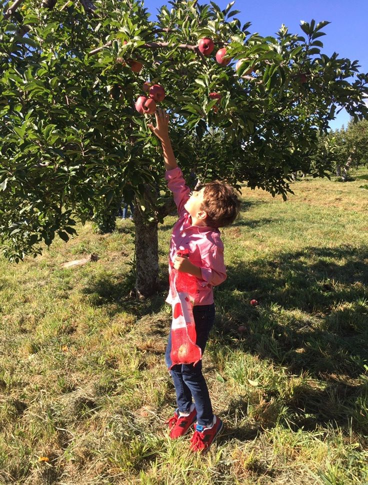 A Harmonious Combination : Apple Picking In Fishkill Farms, NY.