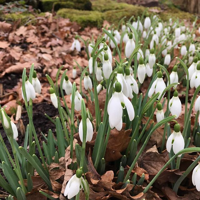 One of my favourite signs of spring. #rhswisley #spring #snowdrops