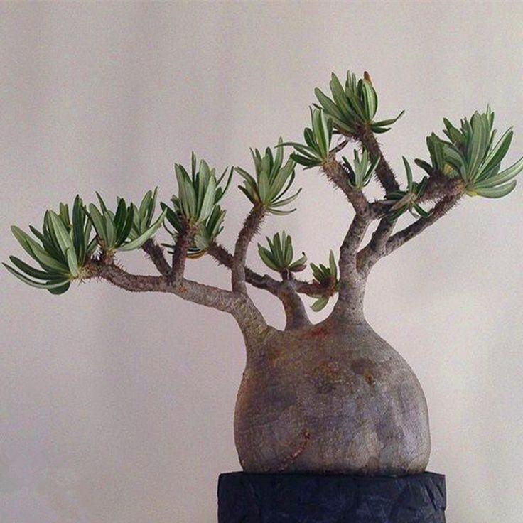 1 профессиональная упаковка 2 шт. Pachypodium rosulatum подвид. Gracilius семена, очень хрипы дерево бонсай семена для посадки сада