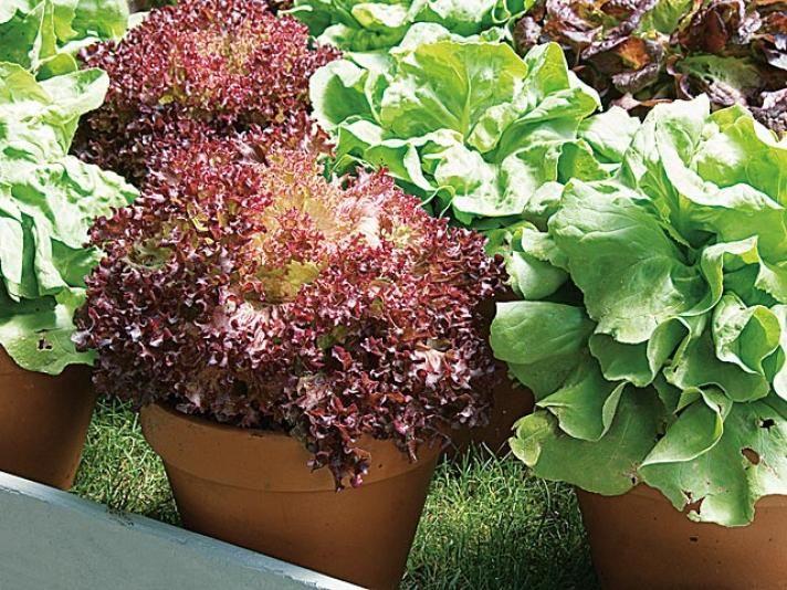 Jardin potager au balcon laitue à couper en pot ou en