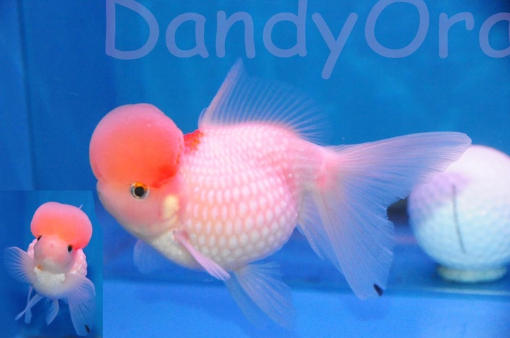 Pearlscale goldfish - photo#12