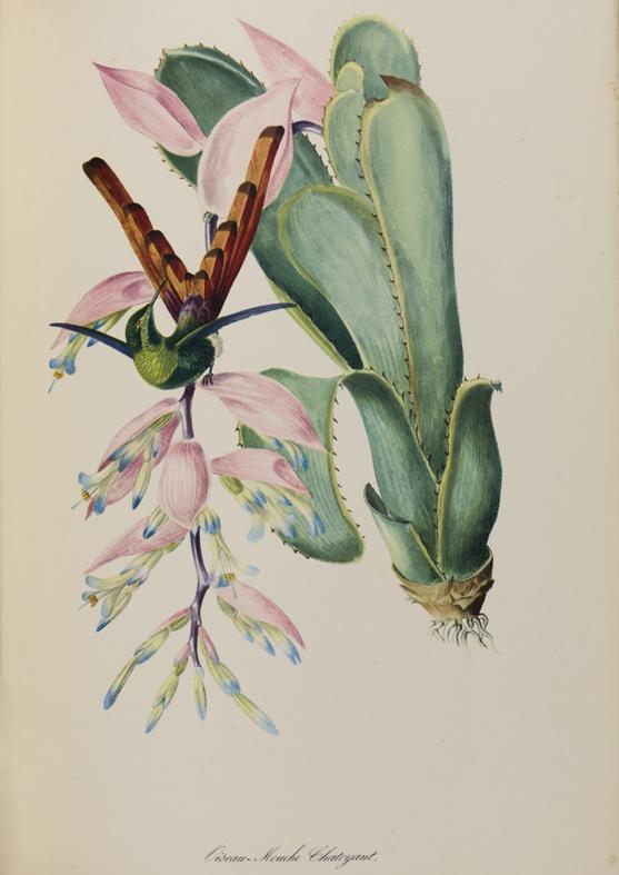 Oiseau-Mouche Chatoyant
