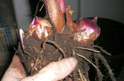 Canna bulb storage- tips for preparing them for storing and how to store them.