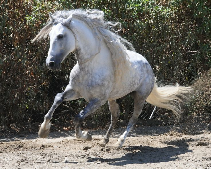 Gray or grey is a coat color of horses characterized by ...
