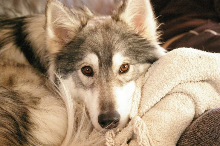 1000+ images about ღ Tamaskan on Pinterest | Puppys ...