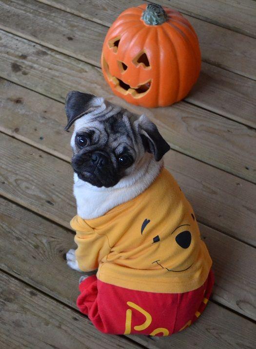 our pug boo the pooh pug pugpuppy pugcostume pughalloween winniethepooh - Pugs Halloween