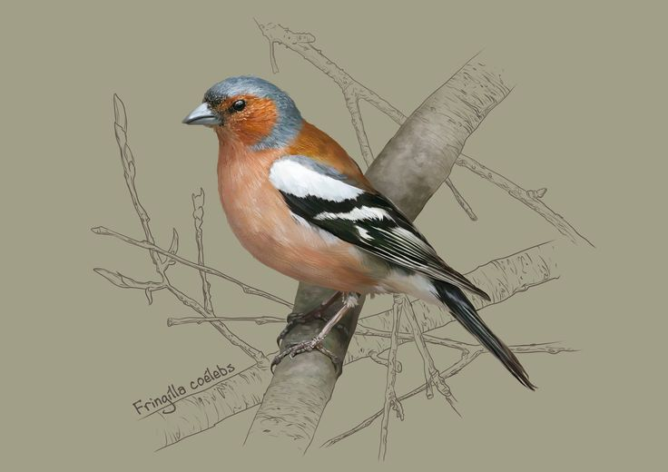 The common chaffinch (Fringilla coelebs), Kate Kondrukhova on ArtStation at https://www.artstation.com/artwork/J3eqZ