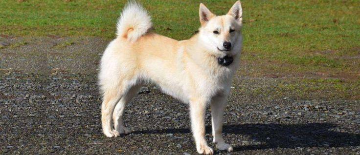 De Noorse Buhund is ontstaan in Noorwegen. Ze werden gebruikt op de boerderij als werkhond, als hoeder van het vee en de jacht. Vandaag de dag is de Noorse Buhund nog steeds een boerderij hond in Noorwegen. Echter, in andere delen van de wereld worden ze gebruikt als metgezellen.