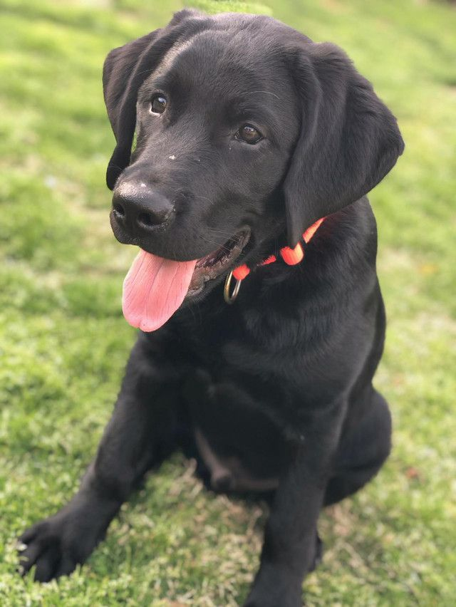 Black Lab Puppy Iphone Pictures Iphone Portrait Photography