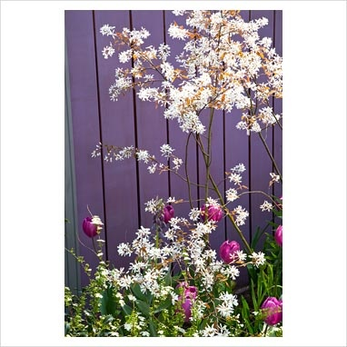 Amelanchier in front of purple fence