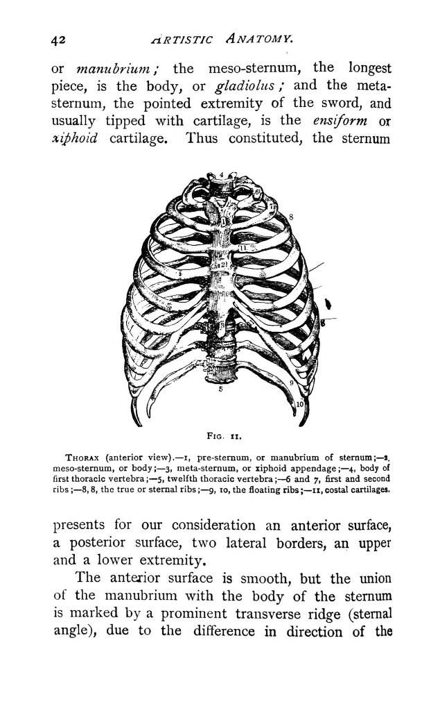 Thorax, anterior view. From: \'Duval\'s artistic anatomy; completely ...